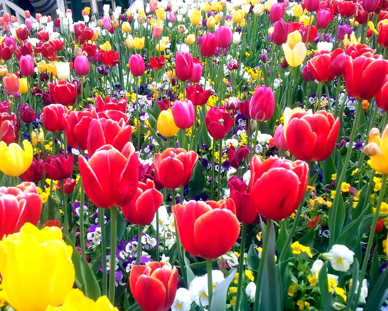 A Floral Interlude ~ Floriade, Otherwise Known as Tulipalooza